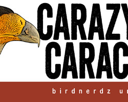 Carazy for Caracaras bumper sticker 8x3 FLAT 530px